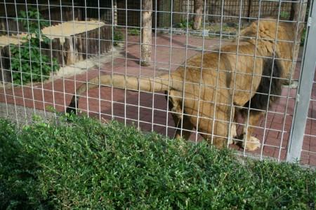 Tierpark Hamm - Der Löwe nässt