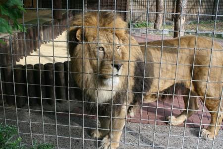 Tierpark Hamm - Der Löwe